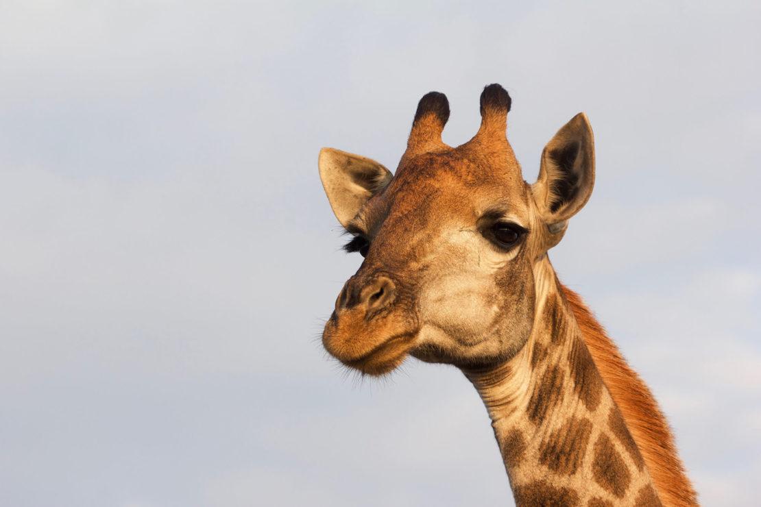 Giraffe GfK Seminar